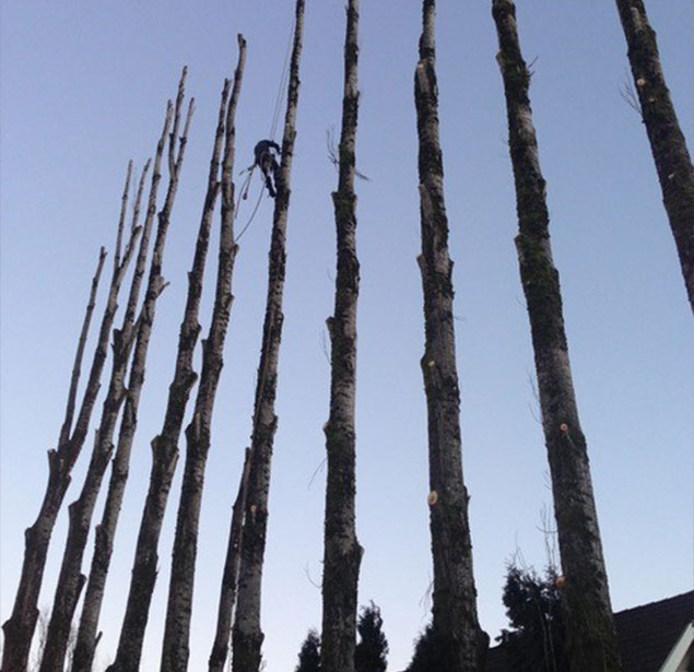 Clear View Tree Service: Tree health in North Bend, Issaquah and Bellevue